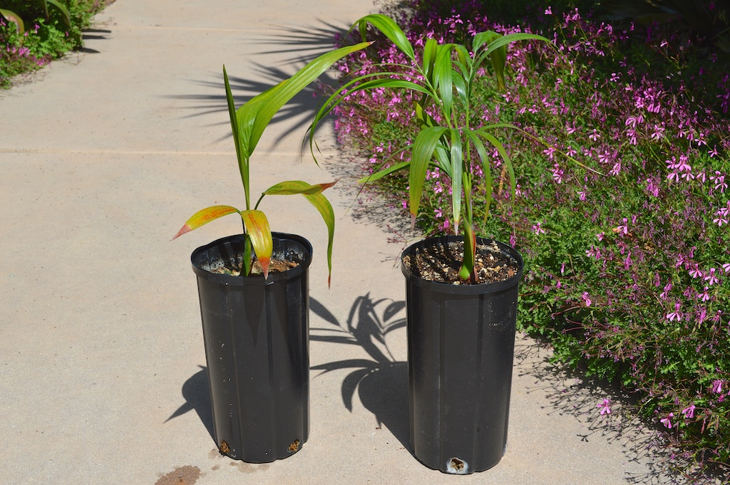 Dypsis onilahensis Soil Experiment Results