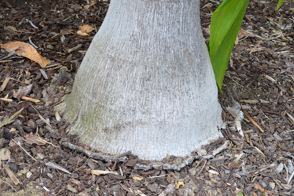 Large Footed Foxy Lady Palm