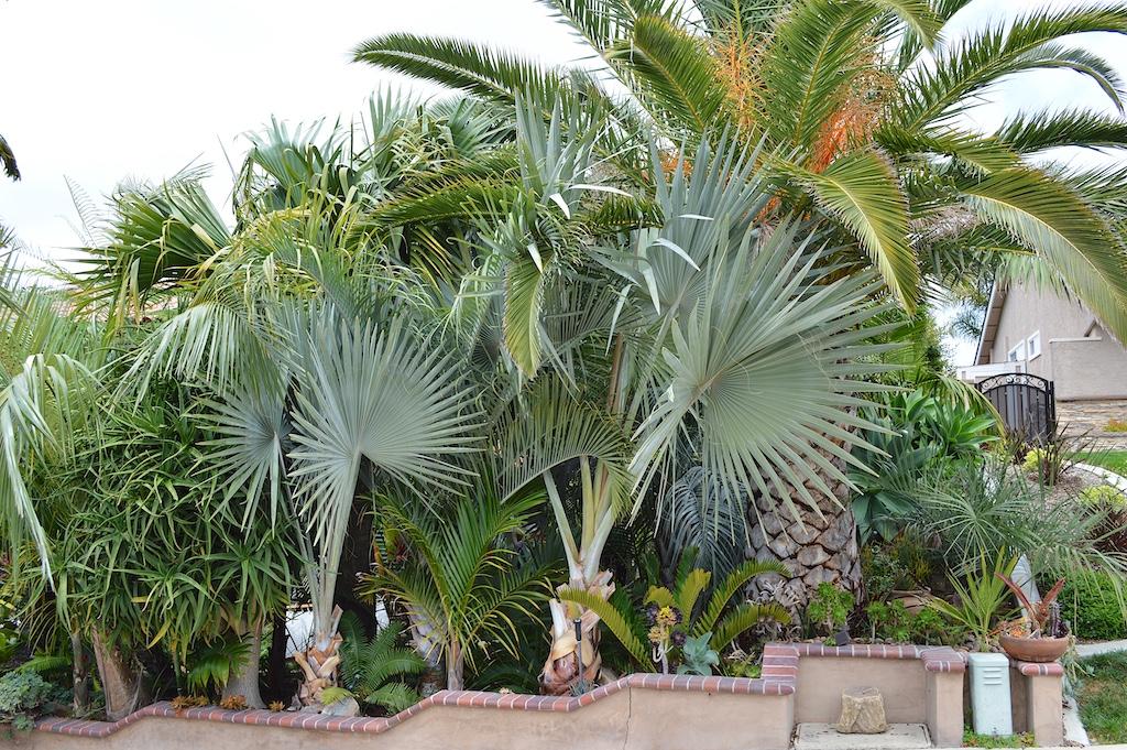 Nesheiwat Garden Bismarckia nobilis