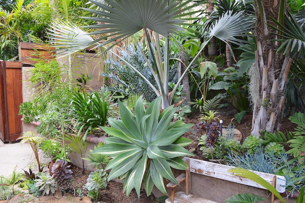 Nesheiwat Garden Variegated Agave attenuata