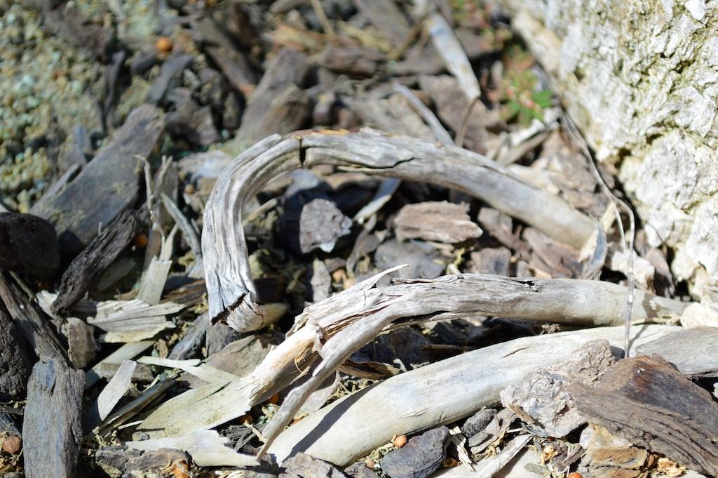 Exposed Ravenea rivularis Roots