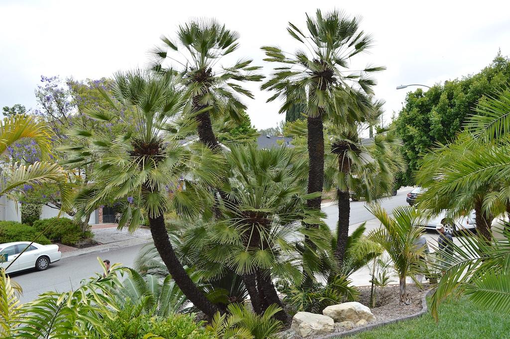 Vargin Garden Chamaerops humilis