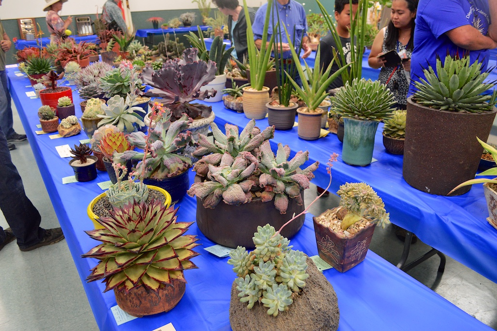 SDCSS Echeveria Table