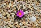 Ariocarpus agavoides (Tamaulipas Living Rock Cactus) in flower