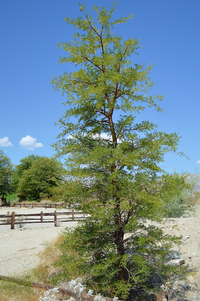 Acacia gerrardii at The Living Desert