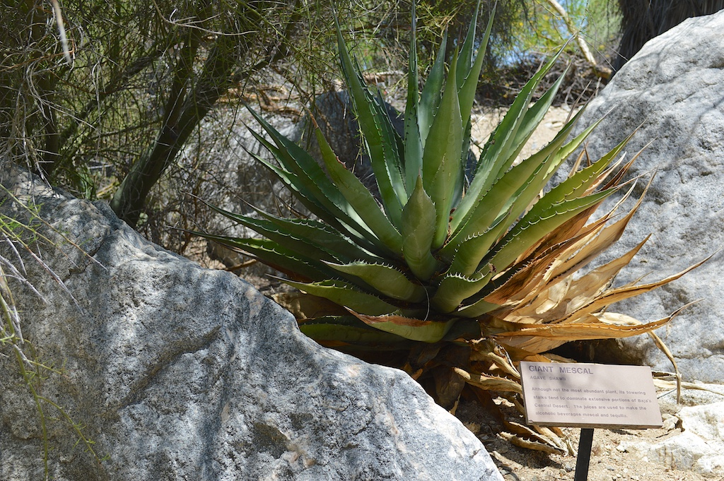 Agave shawii (Shaw's Agave)