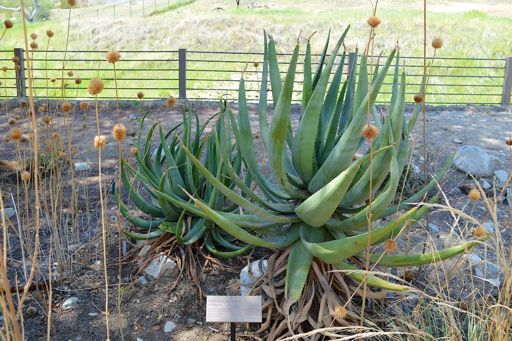 Aloe castanea at The Living Desert