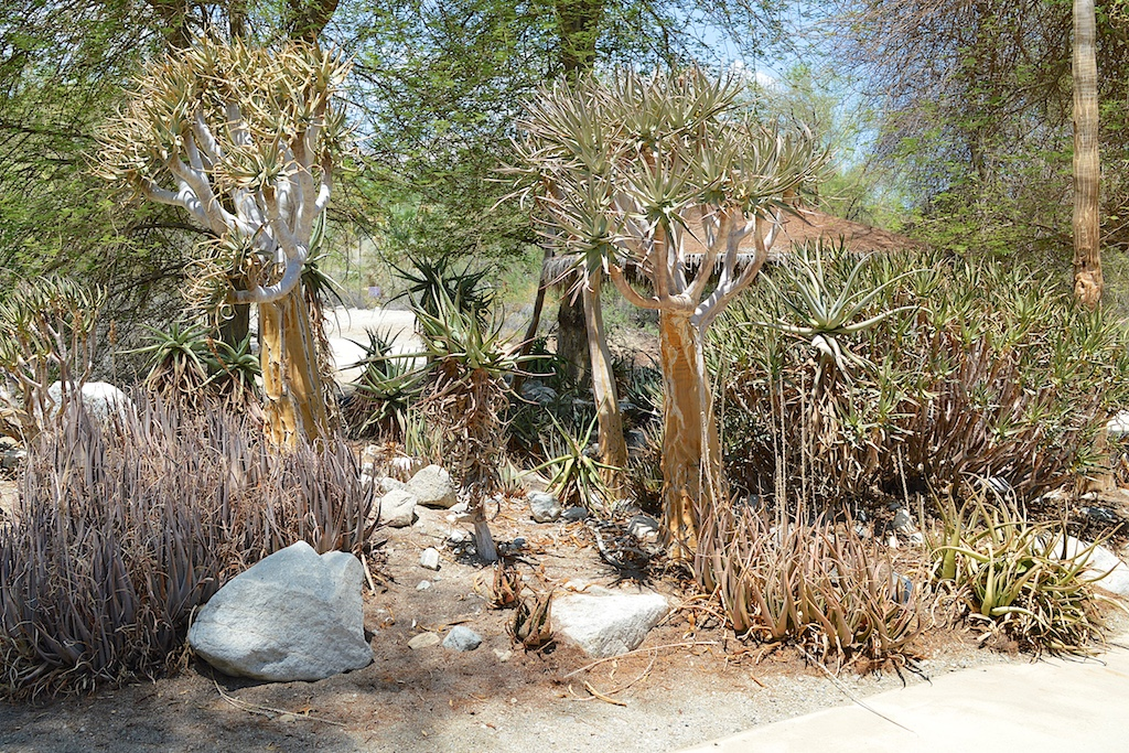 Aloe dichotoma at The Living Desert