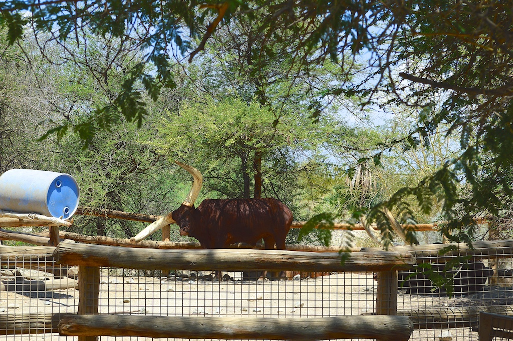 Ankole longhorn at The Living Desert