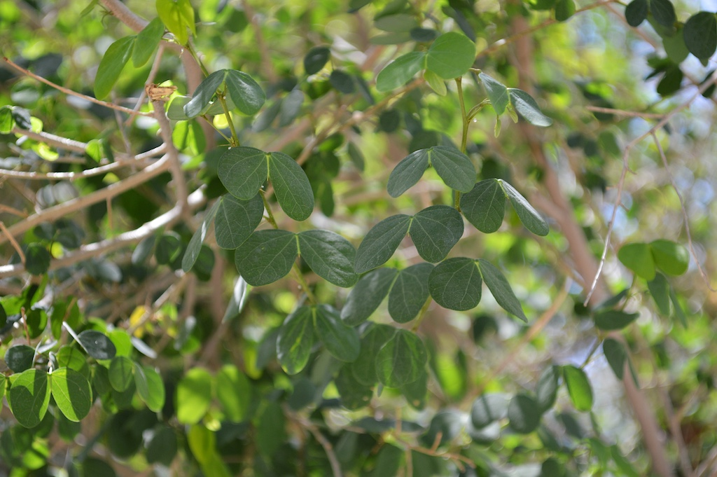 Bauhinia bowkeri Leaves