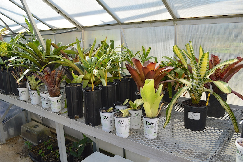 Bromeliads in the Greenhouse