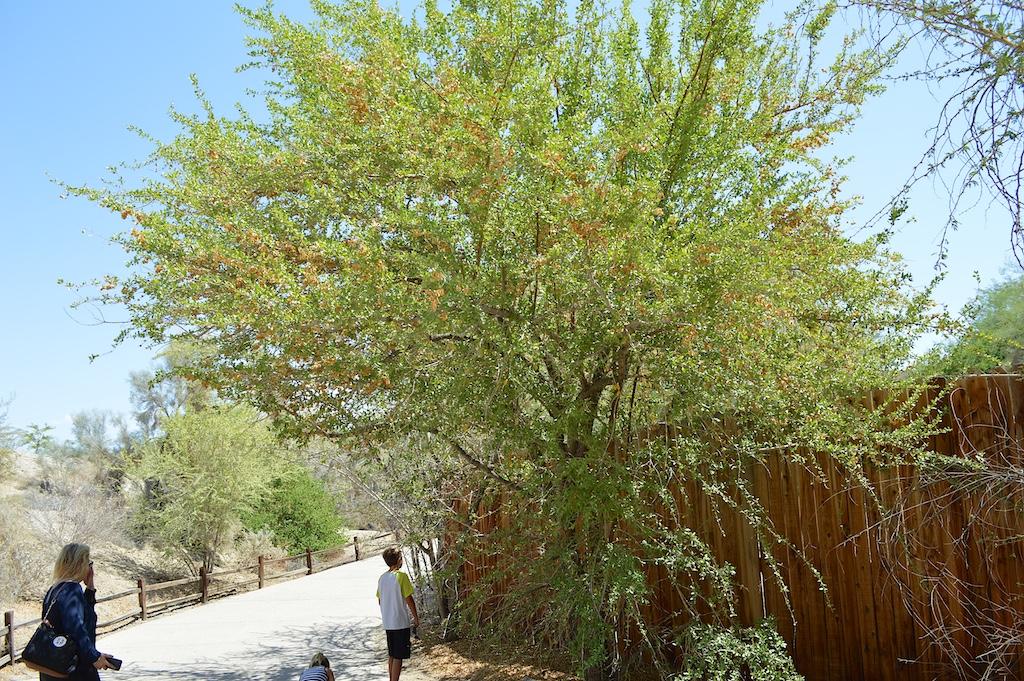 Combretum imberbe (Leadwood)