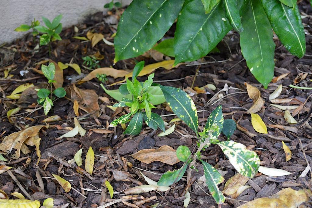 Croton 'Purity' Seedlings