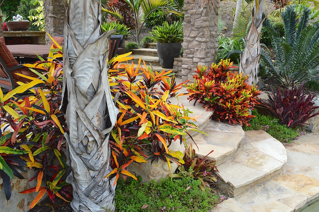Crotons 'Stoplight' and 'Mammy'