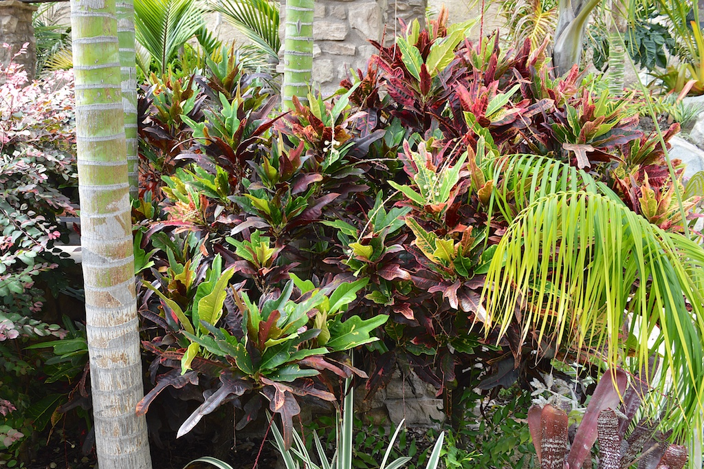 Croton of Unknown Cultivar