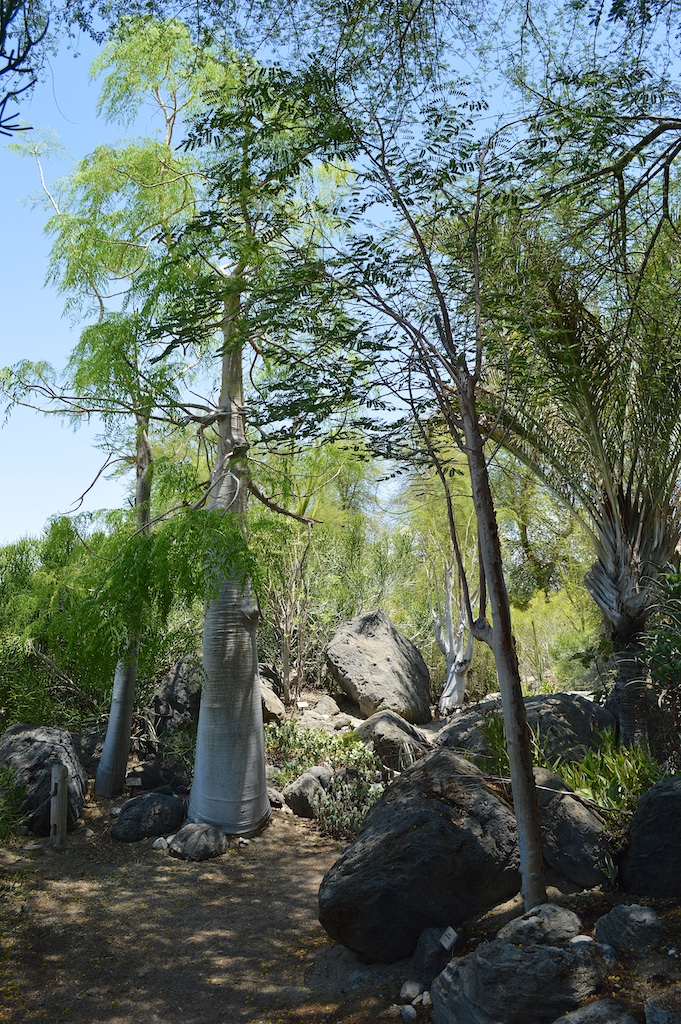 Delonix adansonioides and Moringa hildebrandtii