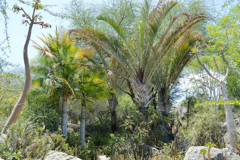Dypsis decaryi and Ravenea rivularis