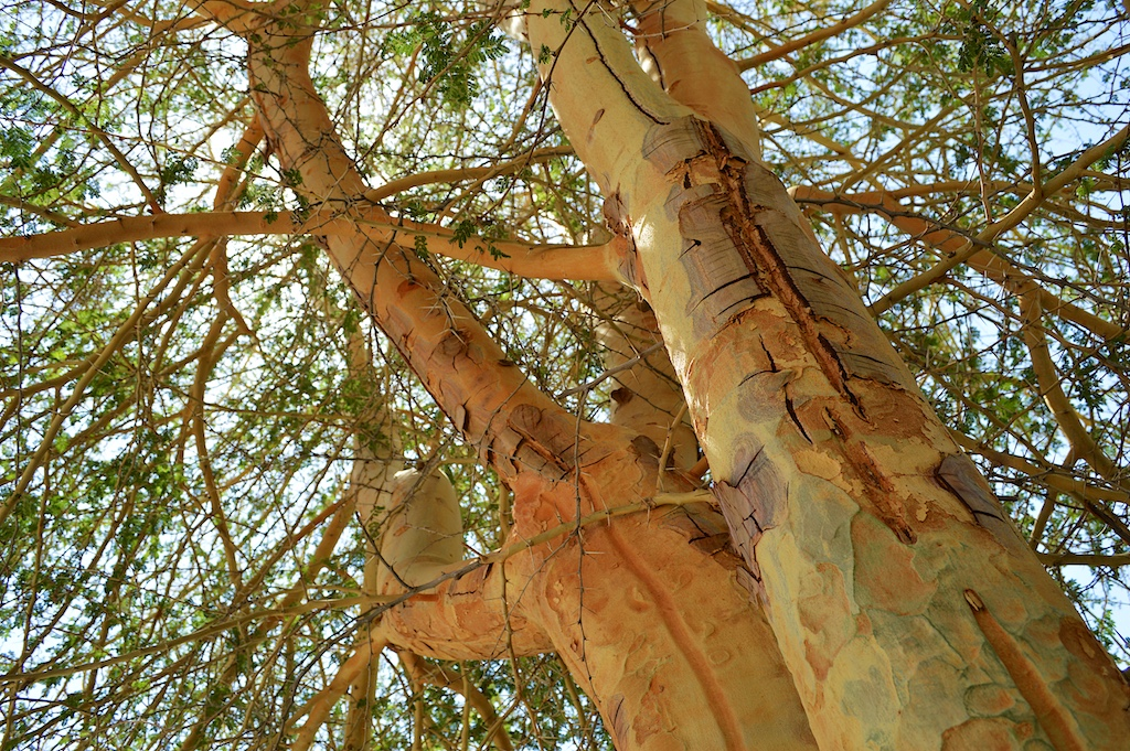 Fever Tree (Acacia xanthophloea) Bark