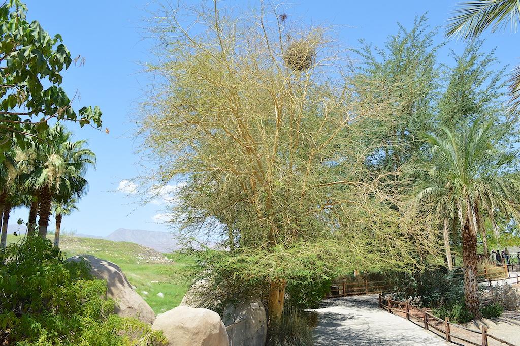Fever Tree (Acacia xanthophloea)
