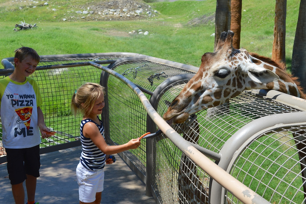 Giraffe Feeding at The Living Desert