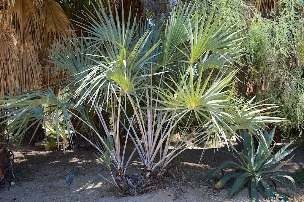 Hyphaene coriacea at The Living Desert