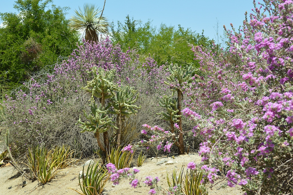 Leucophyllum frutescens, Cylindropuntia fulgida and Yucca rostrata