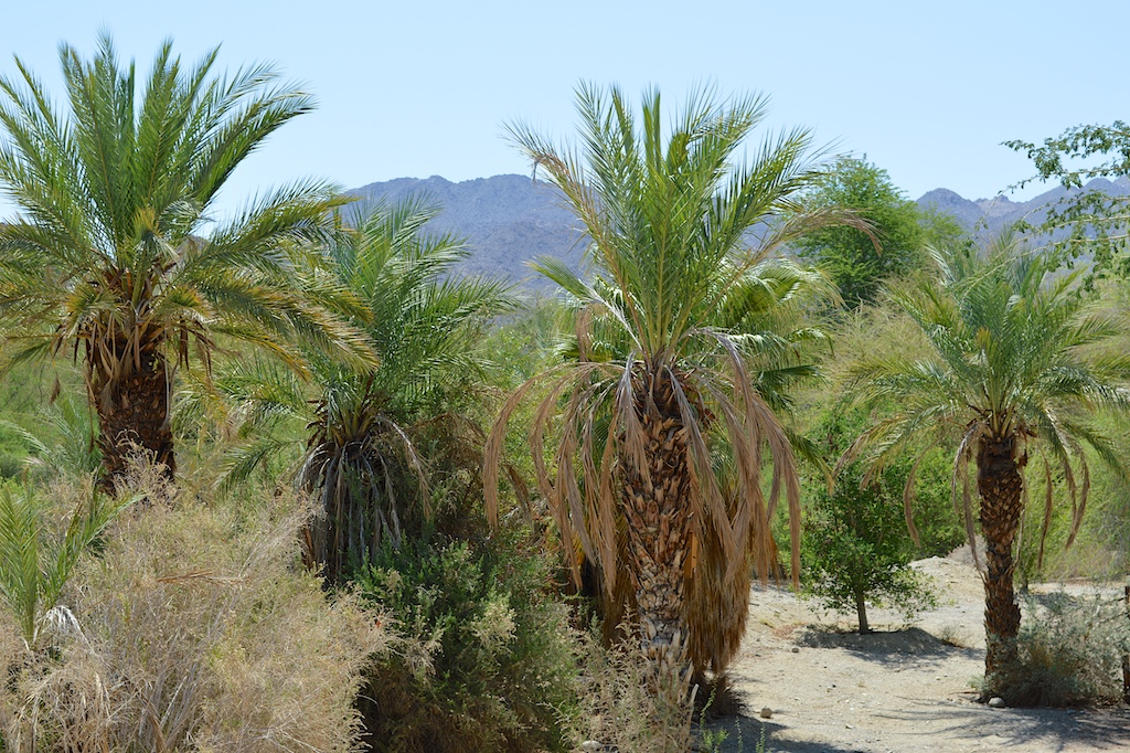 Phoenix dactylifera at The Living Desert