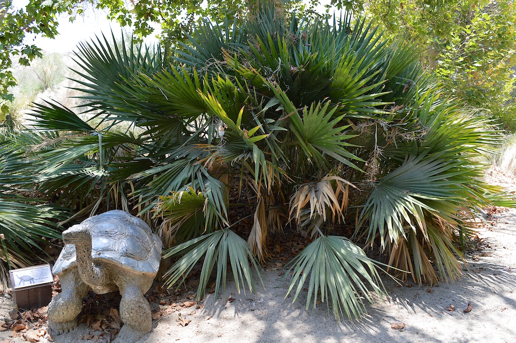 Sabal minor (Dwarf Palmetto)