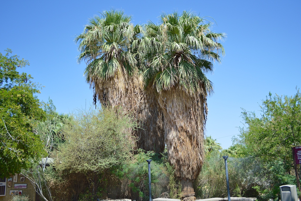 Washingtonia filifera at The Living Desert