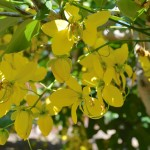 You won't see this every day in California – a flowering Cassia fistula