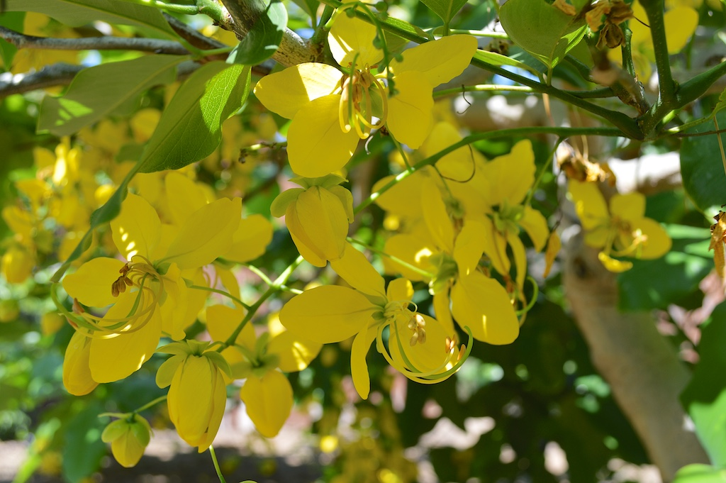 Cassia fistula Flowers in California
