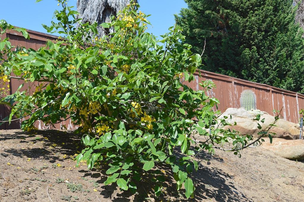 Cassia fistula (Golden Shower Tree) in California
