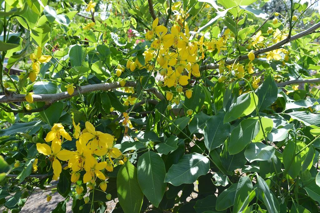 Cassia fistula Flowers in California