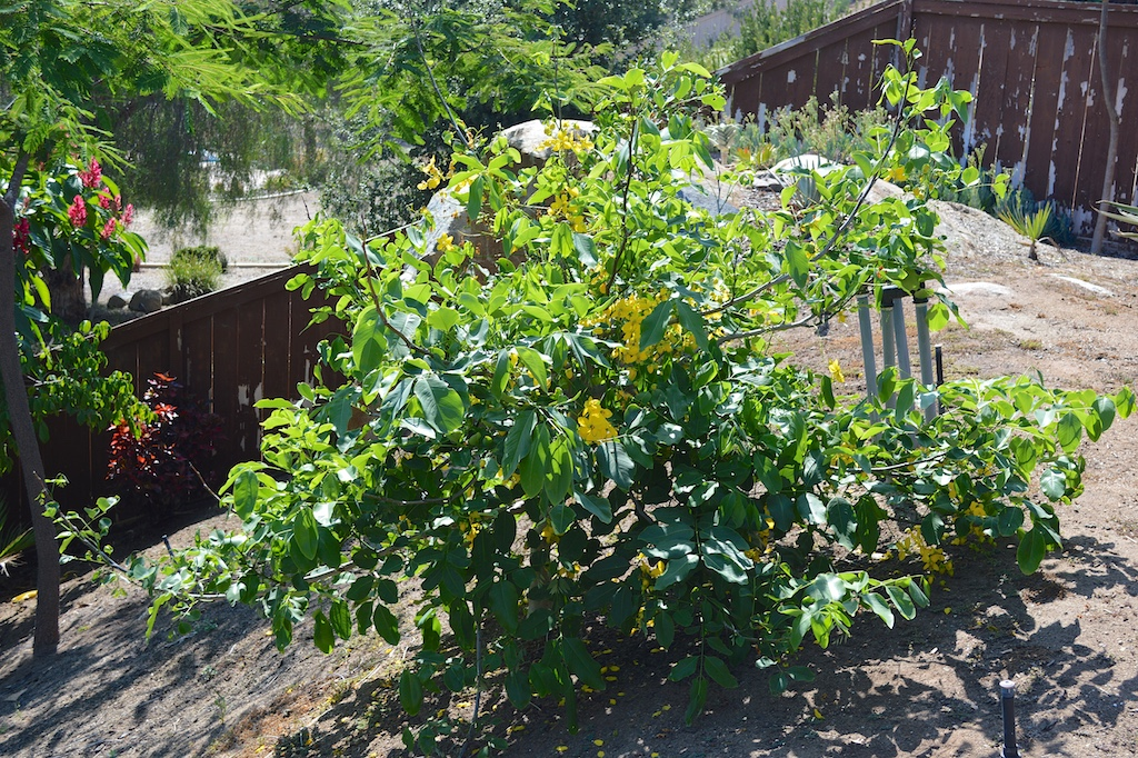 Cassia fistula (Golden Shower Tree) in California