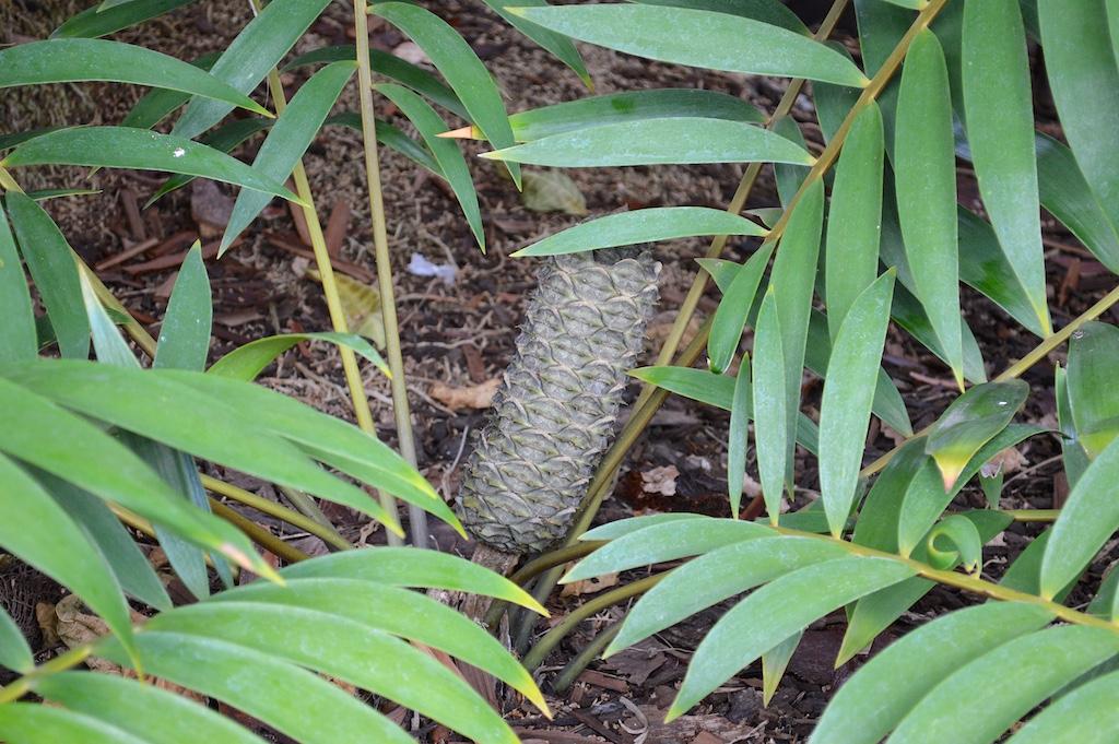 Ceratozamia latifolia Female Cone