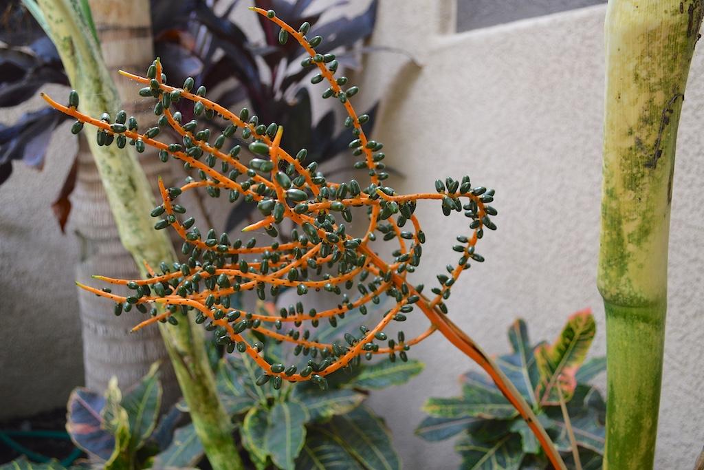 Chamaedorea angustisecta Infructescence