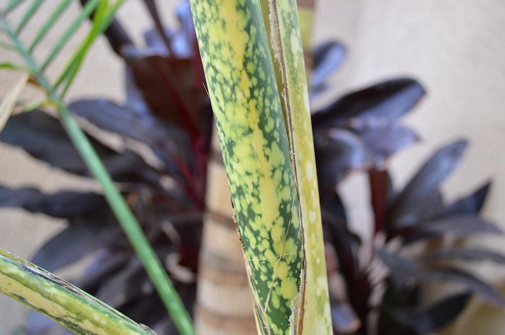 Chamaedorea angustisecta Crownshaft