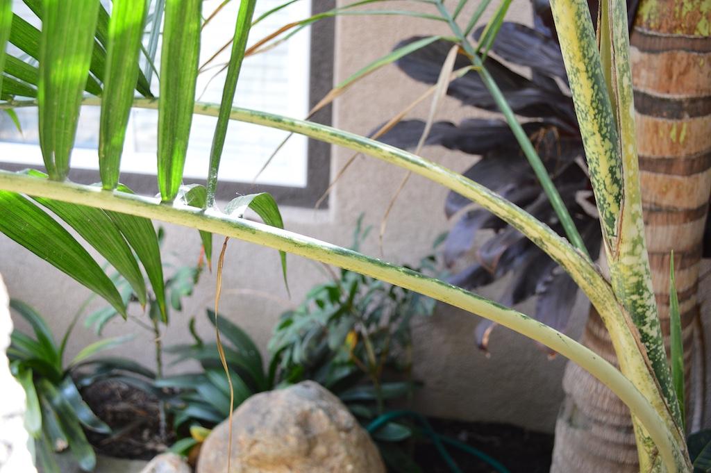 Chamaedorea angustisecta Petioles