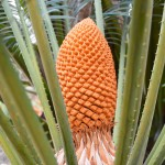 Cycad cones – reproduction of the world's oldest seed plants