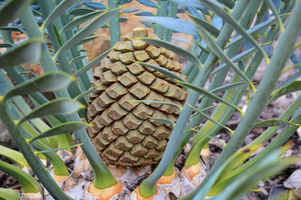 Encephalartos horridus Female Cone