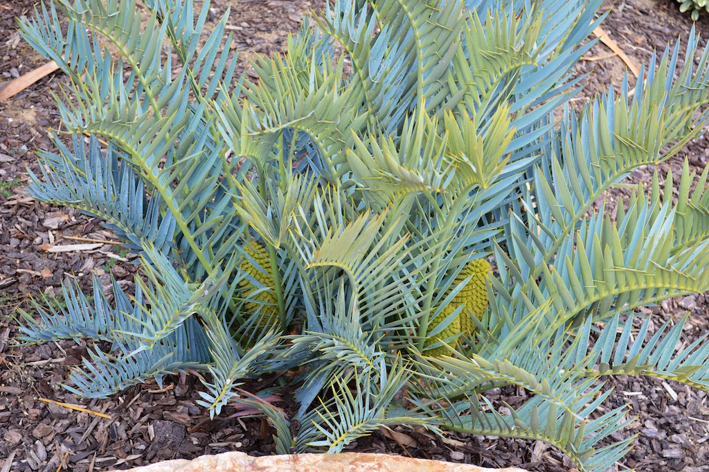 Encephalartos trispinosus Male Cone