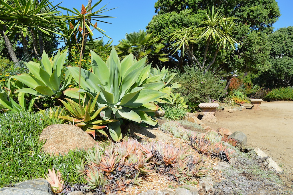 Self Realization Fellowship Meditation Gardens Agave attenuata