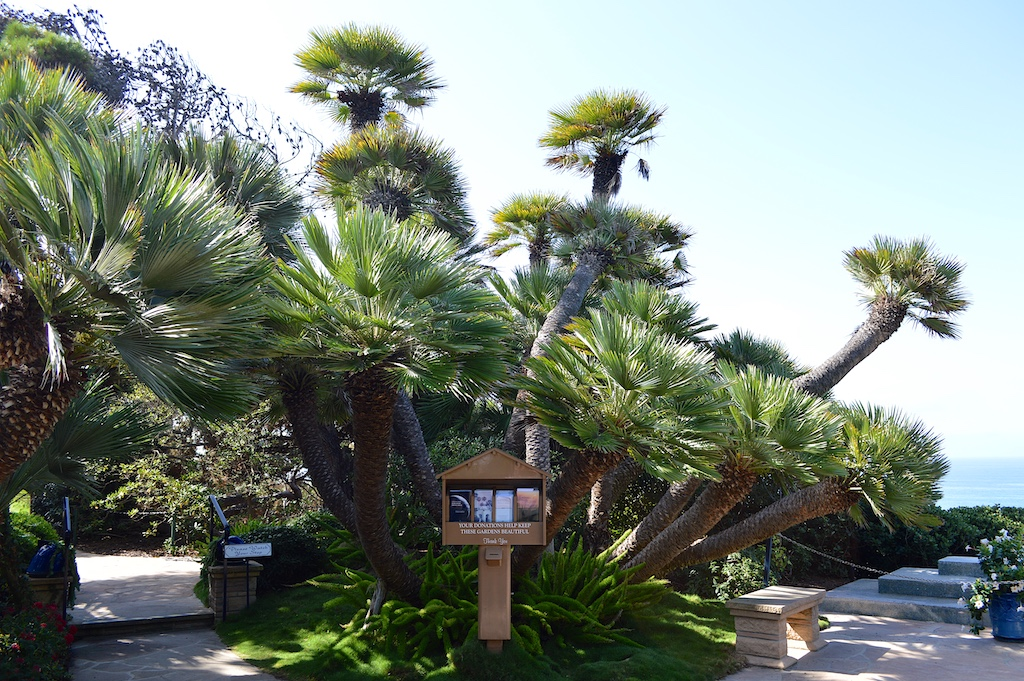 Self Realization Fellowship Meditation Gardens Chamaerops humilis