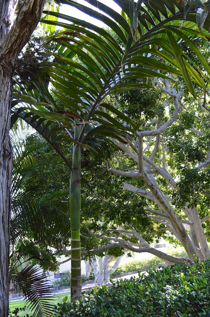 Self Realization Fellowship Meditation Gardens Chambeyronia macrocarpa