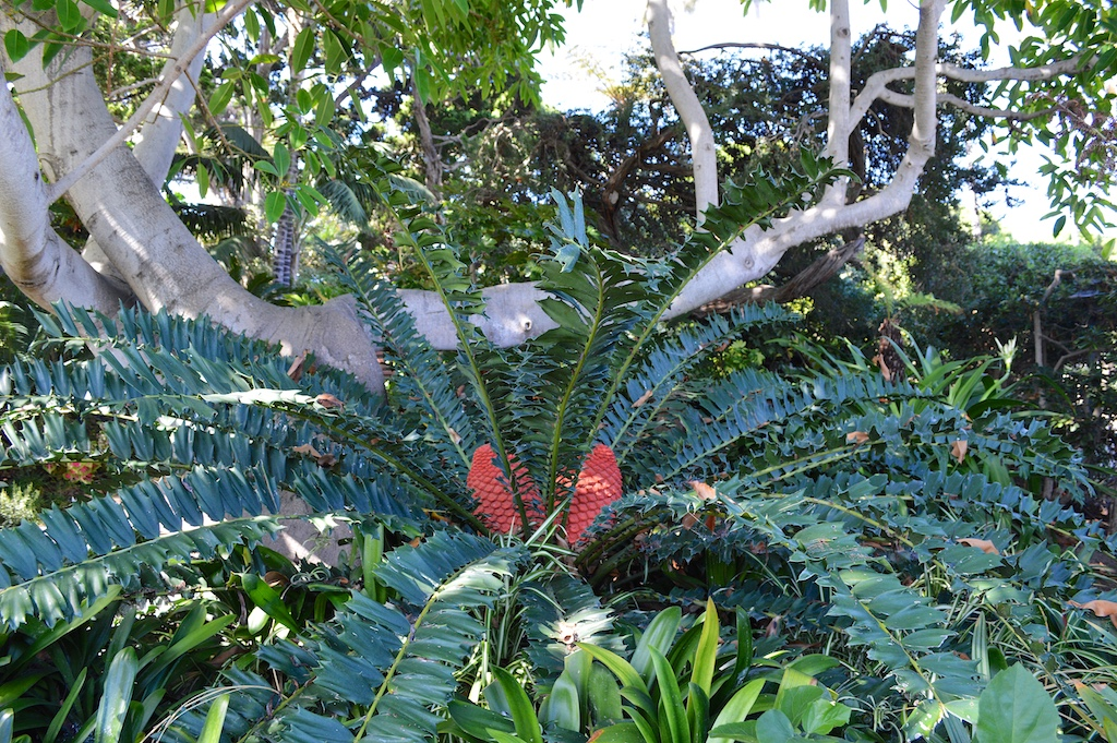 Self Realization Fellowship Meditation Gardens Encephalartos ferox