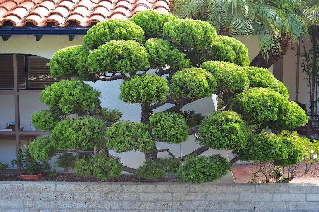 Self Realization Fellowship Meditation Gardens Hollywood Juniper