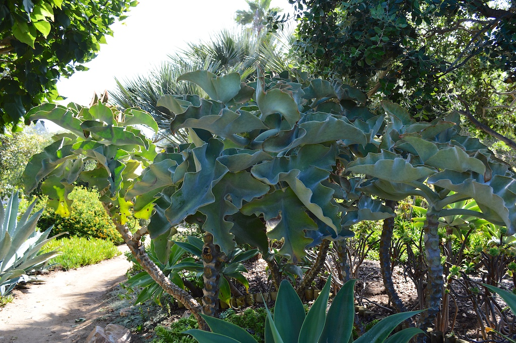 Self Realization Fellowship Meditation Gardens Kalanchoe beharensis