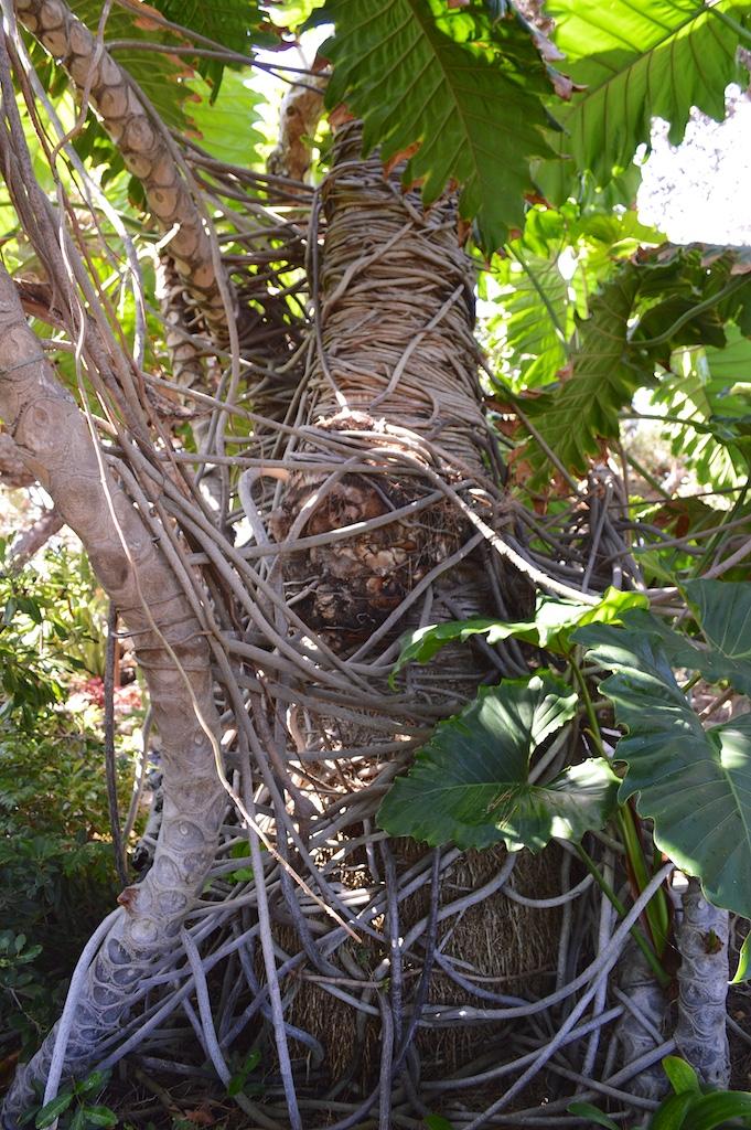 Self Realization Fellowship Meditation Gardens Philodendron selloum