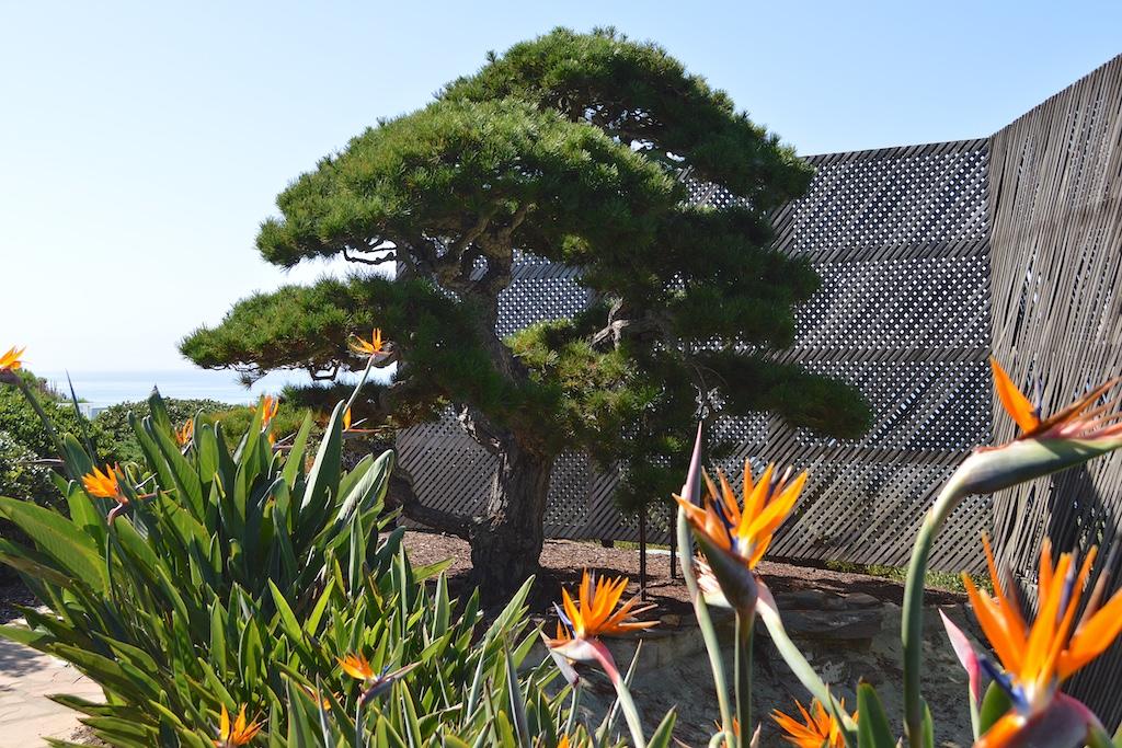 Self Realization Fellowship Meditation Gardens Ming Tree