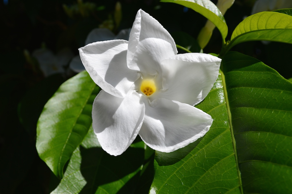 Stemmadenia littoralis Flower